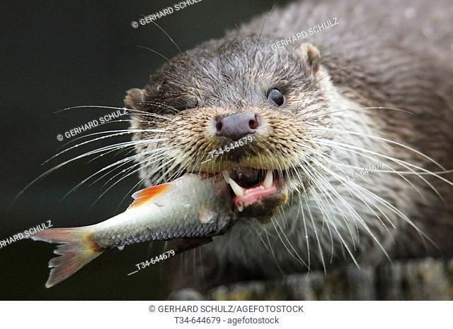European Otter (Lutra lutra). Mecklenburg-Vorpommern. Germany