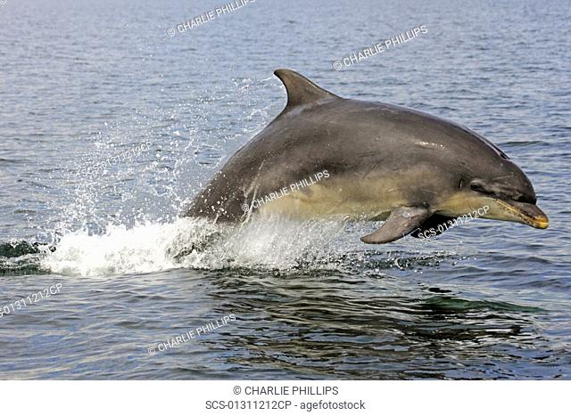 A young Bottlenose Dolphin Tursiops truncatus breaching from the water of the Moray Firth, Scotland