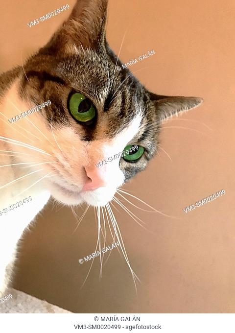 Tabby and white cat's face