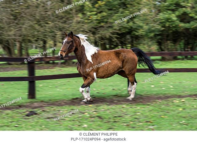 Motion blurred image of Pinto horse / Quarter Horse stallion running outside in field within wooden enclosure