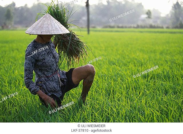 Farmer harvests rice on a rice field in North Vietnam