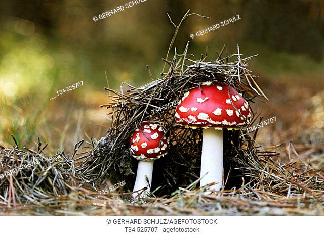 Fly Agaric ( Red-Capped Toadstool ). Amanita muscaria. Schleswig-Holstein, Germany