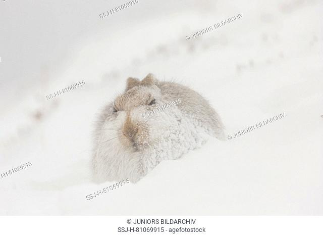 Mountain Hare (Lepus timidus). Adult in white winter coat (pelage) in falling snow. Cairngorms National Park, Scotland