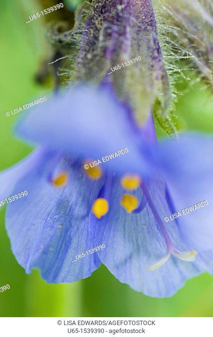 Scrophulariaceae, blue wildflower
