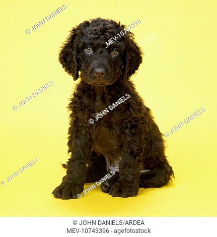 Irish Water Spaniel Dog - puppy
