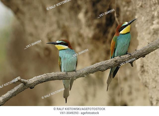 European Bee-Eater ( Merops apiaster ) perched on a branch in a sand pit, breeding habitat, captured with remote control