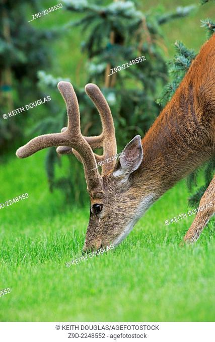 Black-tailed Deer buck (Odocoileus hemionus columbianus), north Nanaimo, Vancouver Island, British Columbia