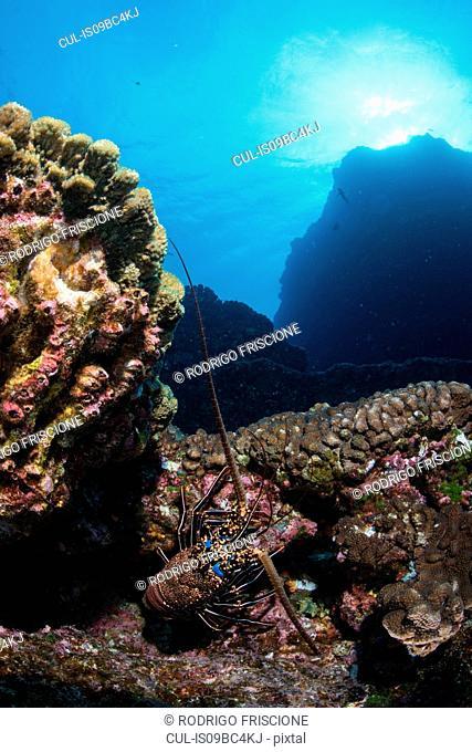 Lobster on seabed rocks, Socorro, Baja California, Mexico