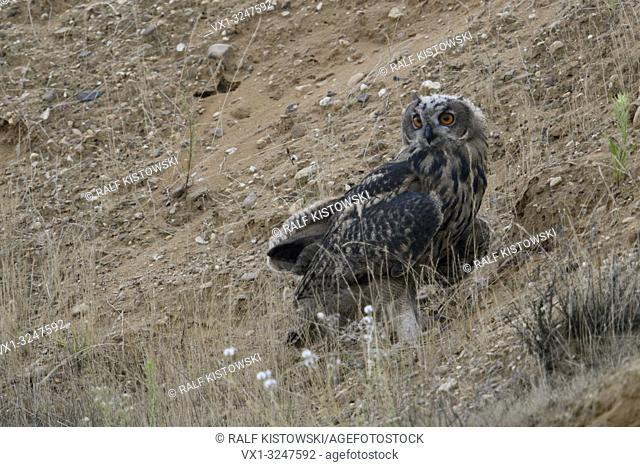 Eurasian Eagle Owl / Europaeischer Uhu ( Bubo bubo ), young, sitting in the slope of a gravel pit, watching around, wildlife, Europe