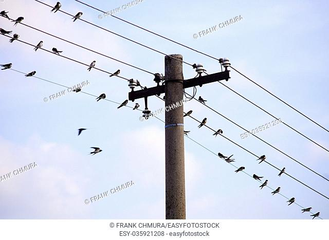 Swallows Sitting on Electricity Wires in Czech Countryside