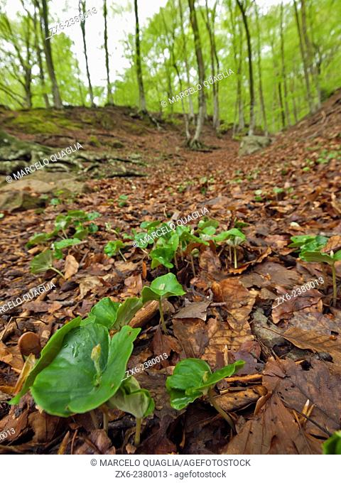 Sprouts of beech trees (Fagus sylvatica) in springtime. Montseny Natural Park. Barcelona province, Catalonia, Spain