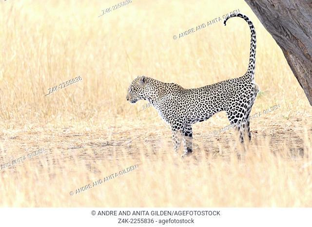 Leopard (Panthera pardus) scent marking against a tree, Seregeti national park, Tanzania