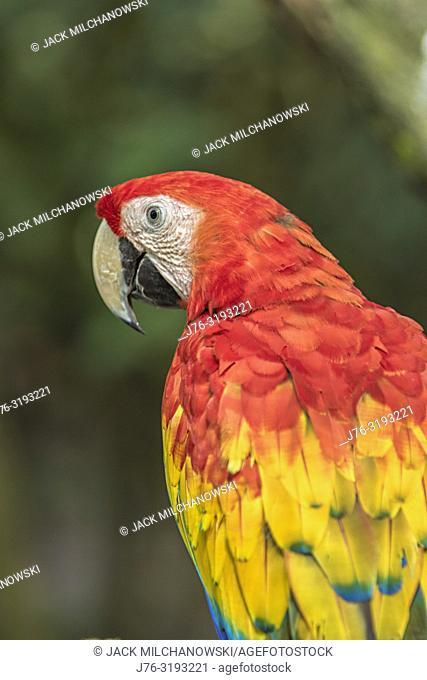 Macaw (Ara macao). Gumbalimba Park. Roatan, Honduras