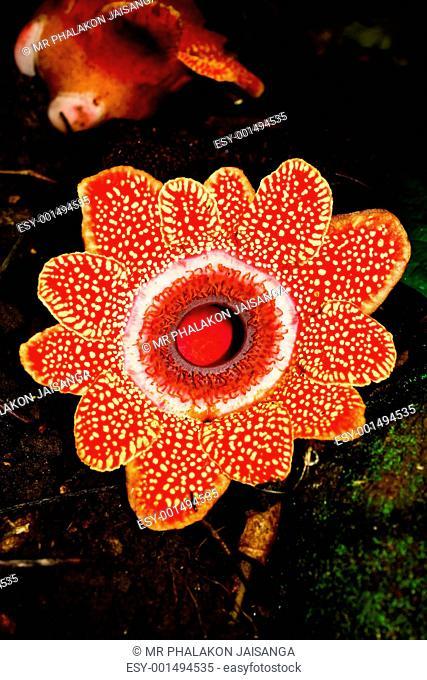 Rafflesia flower largest in thailand
