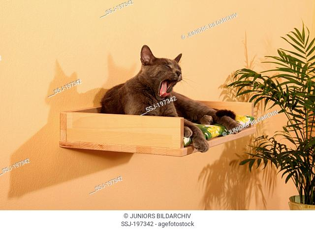 Domestic cat. Adult lying on a pet bed, fixed on a wall. Spain