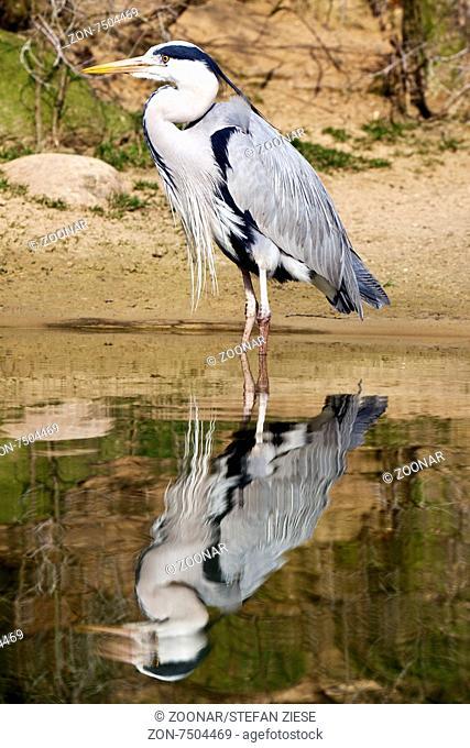 grey heron (Ardea cinerea), Wuppertal zoo