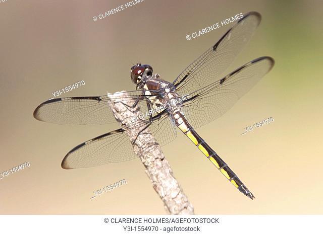 Bar-winged Skimmer Libellula axilena Dragonfly - Juvenile Male, Lake Kissimmee State Park, Lake Wales, Polk County, Florida, USA