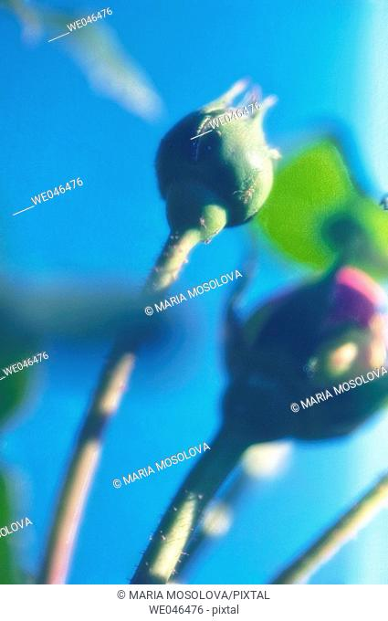 Rose buds, blue sky. Rosa hybrid, May 2006. Maryland, USA