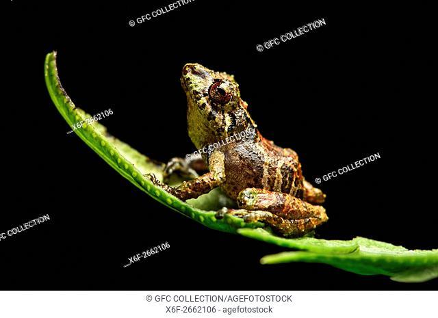 Neotropical rainfrog (Pristimantis aquilonaris), Rainfrog family (Craugastoridae), Tapichalaca Nature Reserve, Andean cloud forest, Eastern Andean foothills
