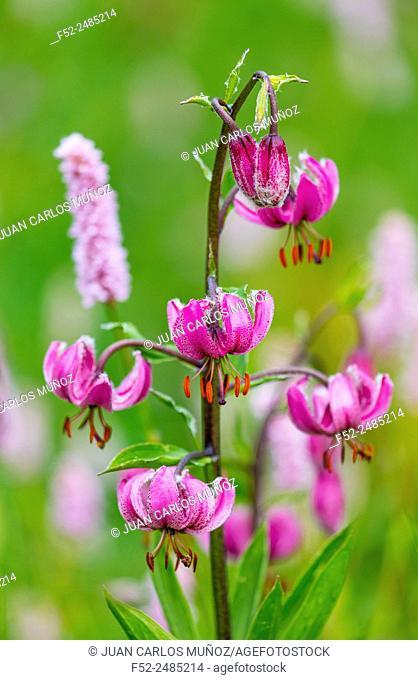 Martagon Lily (Lilium martagon) Col de la Cayolle, Ubaye Valley, Vallée de l'Ubaye, Alpes Haute Provence, Provence, France, Europe