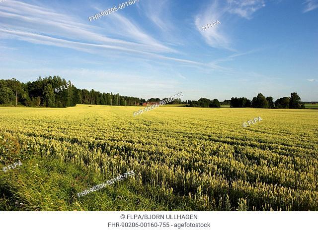 Wheat (Triticum aestivum) ripening crop in field, with farm buildings in distance, Sweden, july