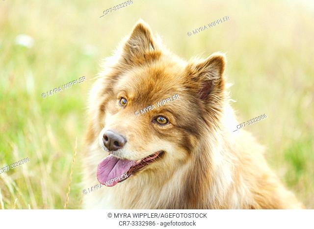 Finnish Lapphund posing in high grass on a warm summer day