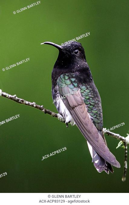 Black Jacobin (Florisuga fusca) perched on a branch in the Atlantic rainforest of southeast Brazil