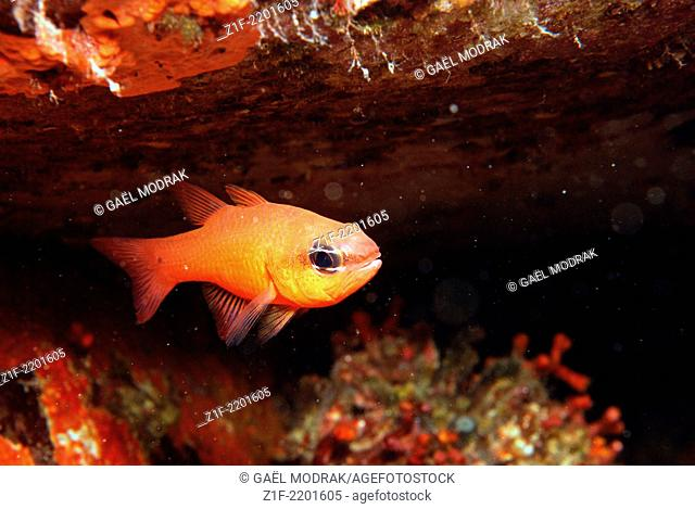 Cardinal-fishe swimming in front of its cave in Corsica, France. Apogon imberbis
