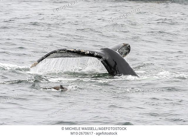 Sea Lion and a Humpback Whale diving down together