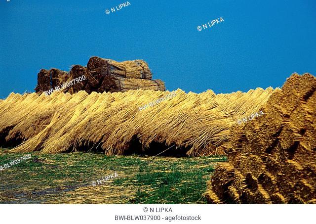 common reed Phragmites australis, bundled, Germany, East Frisia, Bedekapsel