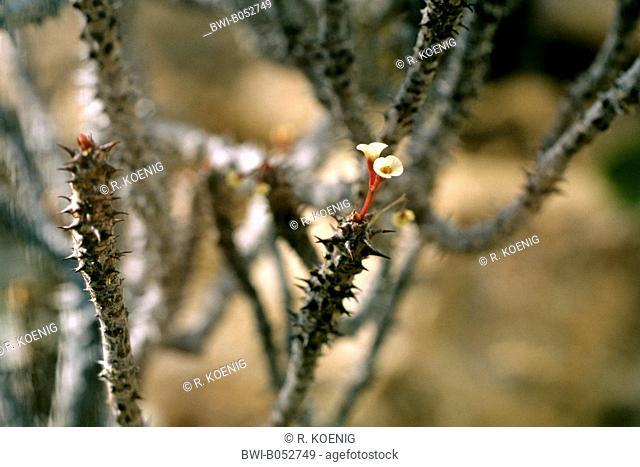 spurge (Euphorbia bulbispina), blooming