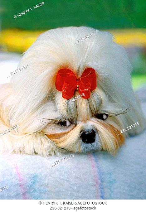 Shih Tsu dog with red ribbon portrait