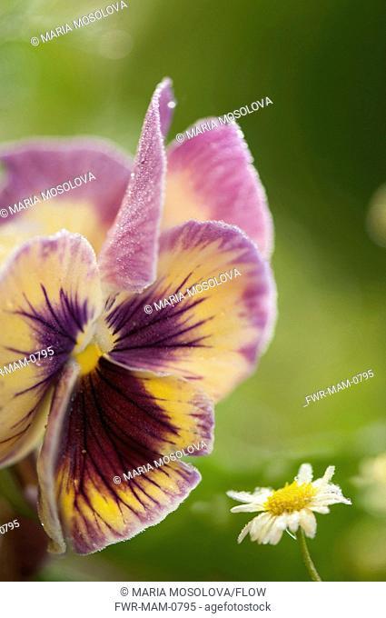 Viola x wittrockiana cultivar, Pansy, Purple subject, Green background