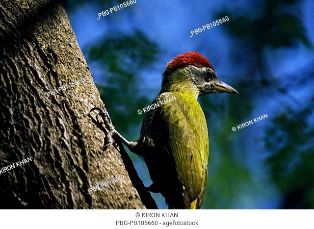 Red headed green woodpecker Sirajganj, Bangladesh August 2008