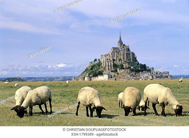 sheep in tidal marsh at Mont-Saint-Michel bay, Manche department, Normandy region, France, Europe
