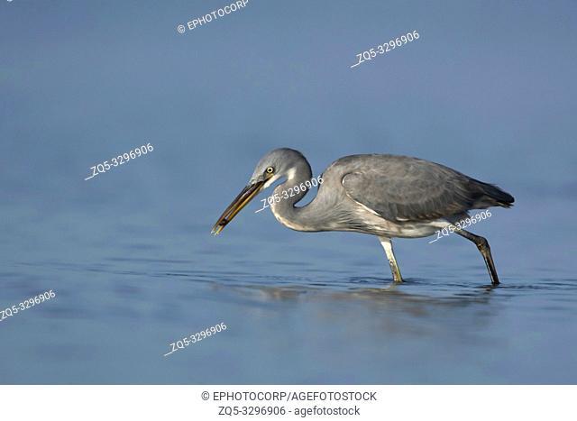Reef heron, Egretta gularis, Jamnagar, Gujarat, India