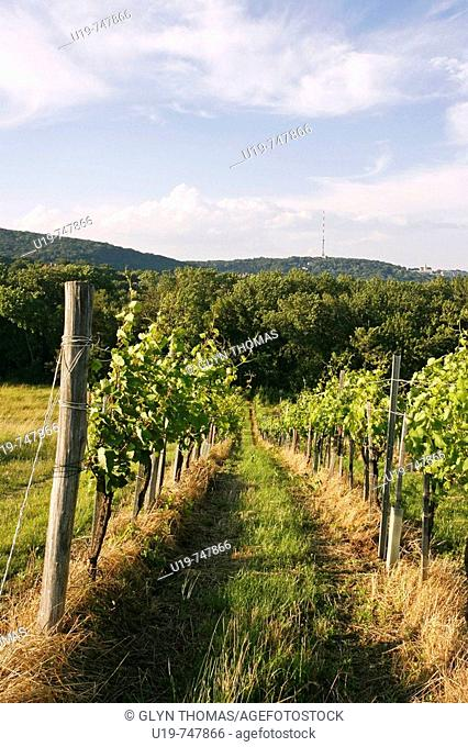 Vineyard in Grinzing, Vienna, Austria