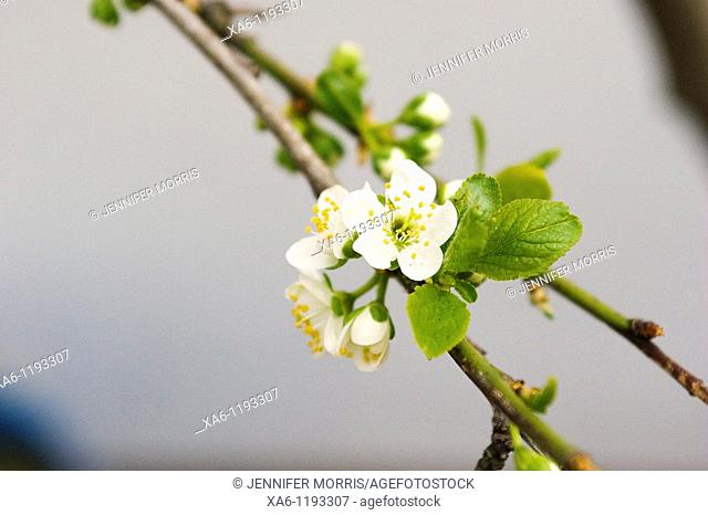 A pale cream plum blossom on a twig