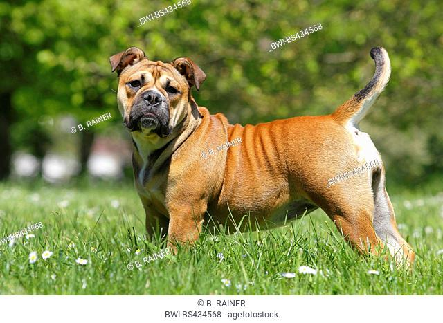 Continental Bulldog (Canis lupus f. familiaris), six month old she dog stands in a meadow, Germany