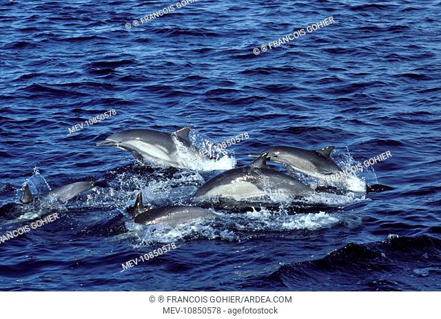 Long-beaked common dolphin (Delphinus capensis). Gulf of California (Sea of Cortez), Mexico