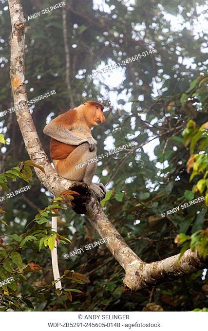 Wild Proboscis Monkey (Nasalis larvatus) in the Morning Mist in Borneo, Malaysia