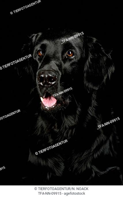 Flat Coated Retriever Portrait
