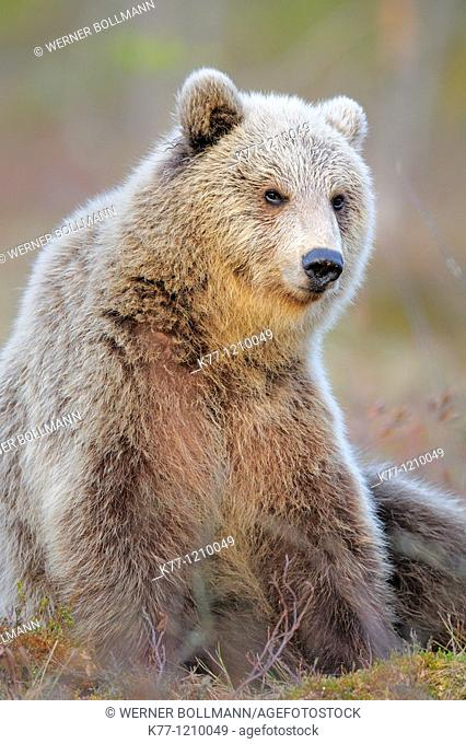 European Brown Bear (Ursus arctos), older cub, Finland