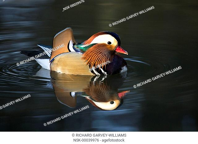 Mandarin Duck (Aix galericulata) male on the water, United Kingdom, Devon, Stover Country Park