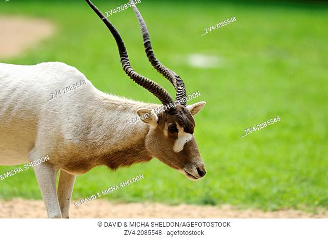 Portrait of an addax (Addax nasomaculatus) in a zoo, Bavaria, Germany