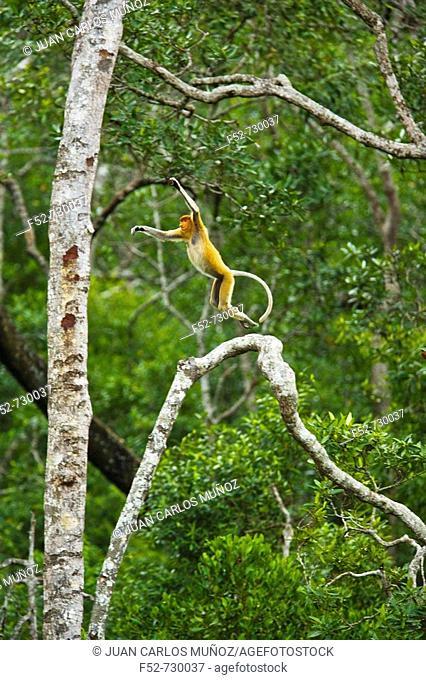Proboscis Monkey (Nasalis larvatus), Labuk Bay Proboscis Monkey Sanctuary. Sabah, Borneo, Malaysia