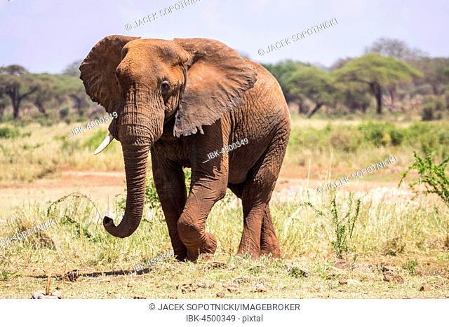 African Elephant (Loxodonta africana), Tsavo West National Park, Kenya