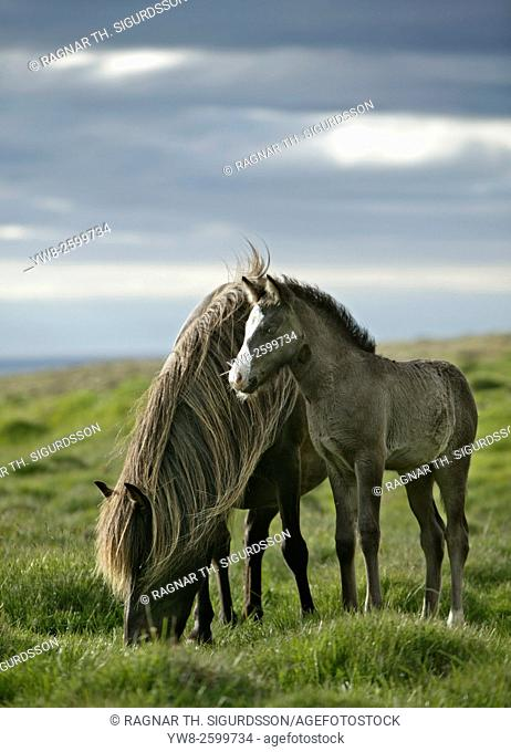 Mare and Foal grazing, Iceland
