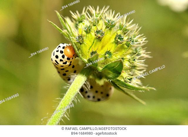 Caterpillar of Hepialus humuli (fam. Hepialidae), Osseja, Pyrenees-Orientales, Languedoc-Roussillon, France