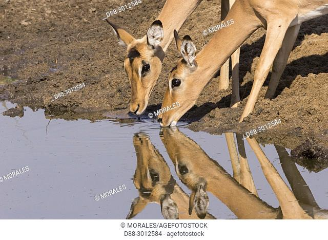 Africa, Southern Africa, South African Republic, Mala Mala game reserve, Impala (Aepyceros melampus), adult female drinking